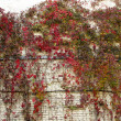 Quinata girlish grapes or grape Virginia (Parthenocissus quinquefolia) fall — Stock Photo