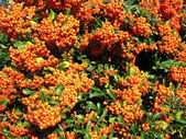 Bright red pyracantha (Pyracantha coccinea), the family Rosaceae — Stock Photo