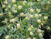 Blooming Sambucus (Sambucus racemosa) — Stock Photo