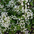 Stock Photo: Blooming saxifrage (Saxifragaff. Cherlerioides)