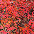 Autumn barberry (Berberis) — Stock Photo #37453391