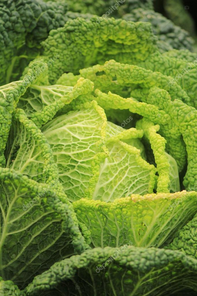 Cabbage  Stock Photo #14653739