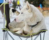 Pies husky — Zdjęcie stockowe