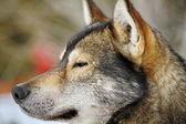 Portrait dog husky — Stock Photo