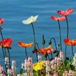 Flowers poppy — Stock Photo