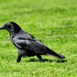 Crow black — Stock Photo