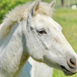 Horse of the Camargue — Stock Photo