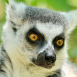 Lemur — Photo #29717925
