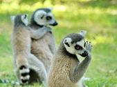 Lemurs — Stock Photo