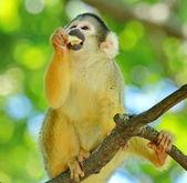 Ape squirrel — Stock Photo