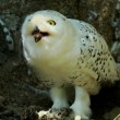 Snowy Owl Harfang — Stock Photo