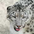 The rare snow leopard — Stock Photo