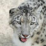The rare snow leopard — Stock Photo #31058159