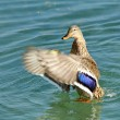 Stock Photo: Colvert duck