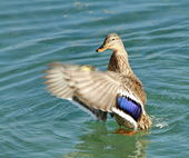 Colvert duck — Stock Photo