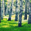 White birches forest — Stock Photo