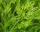 Green leaves of dill — Stok fotoğraf