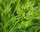 Zelené listy kopru — Stock fotografie