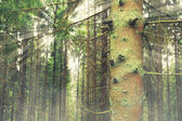 Coniferous forest — Stock Photo