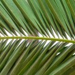 Lush green palm leaf — Stock Photo