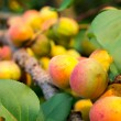 Ripe apricots — Stock Photo #28997729