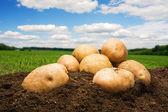 Potatoes on the ground under sky — Stock Photo