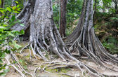 Tree roots in Sri Lanka — Stock Photo