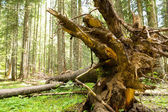 Tree roots in  forest — Stock Photo