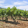 Provencal vines — Stock Photo