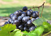 Black grapes — Stock Photo