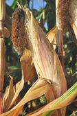 トウモロコシの穂軸 — ストック写真