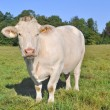 Charolais cow — Stock Photo #13160032