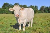 Charolais cow — Stock Photo