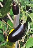 Eggplant vegetable — Stock Photo