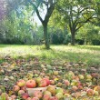 Постер, плакат: Apples harvest