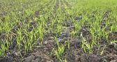 Cereales de plántulas — Foto de Stock