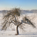Apple tree in winter — Stock Photo