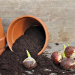 Germination of tulip bulbs — Stock Photo