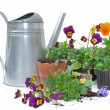 "Planting small flowers ""viola"" — Stock Photo"