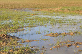 Wheat fields flooded — Stock Photo
