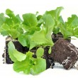Foto Stock: Seedlings of salad