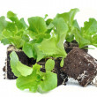 Stockfoto: Seedlings of salad