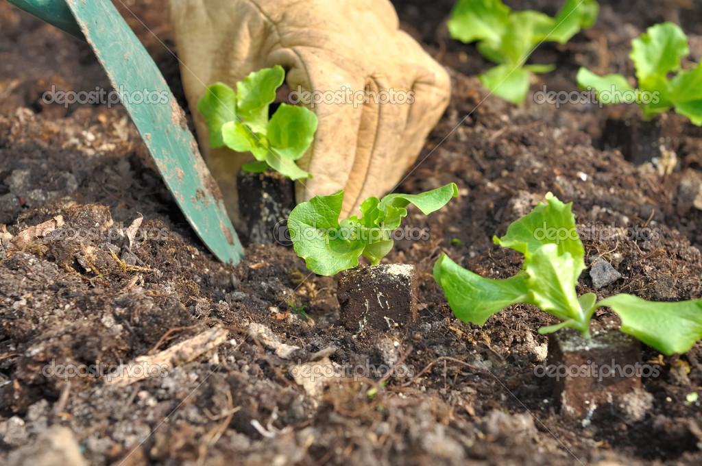 Piantare insalata foto stock sanddebeautheil 23135364 for Piantine orto prezzi