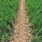Wheat seedlings — Stock Photo #24824335