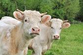 小母牛 — 图库照片