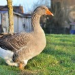 Goose — Stock Photo #26125151