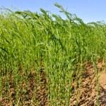 Field of flax — Stock Photo #26245665