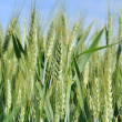 Ears of barley — Stockfoto #26869007