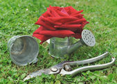 Rosa em regador — Fotografia Stock