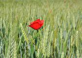Poppy and barley — Stock Photo